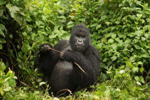 gorilla uganda tourism