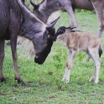 Newborn Wildebeest Ndutu