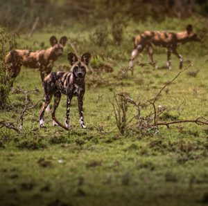 Kleins-Camp - Wild-Dog18 Jan '19 Spectacular sighting of Wild Dogs on Klein's Concession by @michaelnalleyphotography