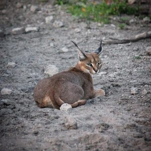 Ndutu-Safari-Lodge-caracal-Feb2019Nice caracal from Ndutu Safari Lodge An incredibly beautiful and rare sighting of a Caracal Cat the other evening.