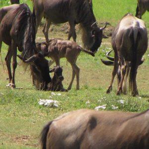 Serengeti Nomad - Calving Season 2019