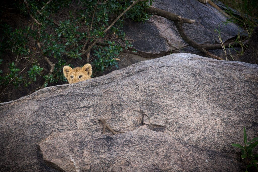 Isolation. Coronavirus. Lion cub. Serengeti